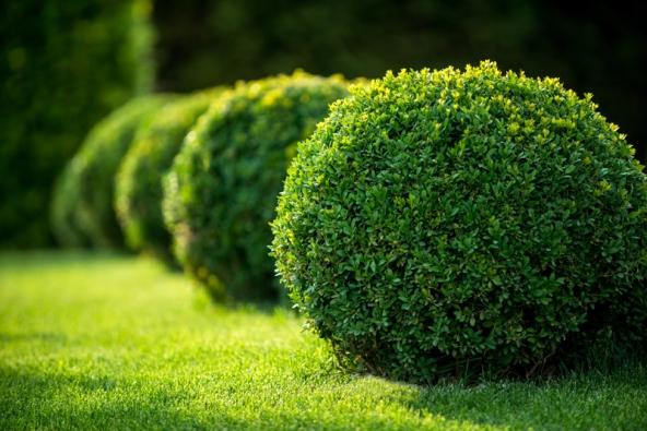 Střih je nutno během roku alespoň jedenkrát opakovat – záleží vždy na tom, jak rostlina přirůstá. Bujně rostoucí se může tvarovat i třikrát během jednoho vegetačního období.