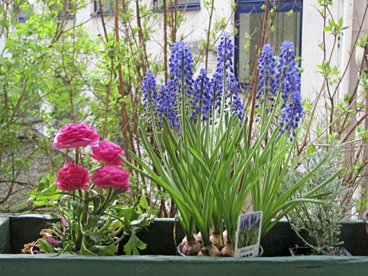 Různými druhy rostlin můžeme zdobit truhlíky pocelý rok včetně zimy, ale první jarní květy bývají ty nejvítanější...