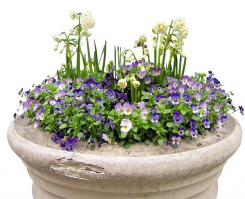Violky amacešky patří mezi vděčné  květiny, vkombinaci scibulovinami jsou obzvlášť působivé.