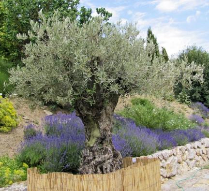 Inspirací pro jižně orientované balkony je středomořská flóra: olivovník, yzop, tymián...