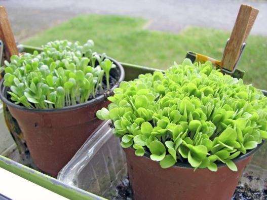 Okenní parapety jsou ideálním místem pro předpěstování vlastní sadby zeleniny, bylinek  akvětin (zde saláty dvou odrůd).