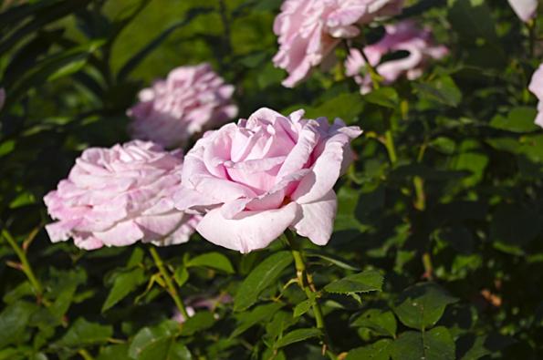 Růže jsou oblíbenou květinou paní majitelky. Některé si přivezla z Poděbrad, další ještě dokoupila.