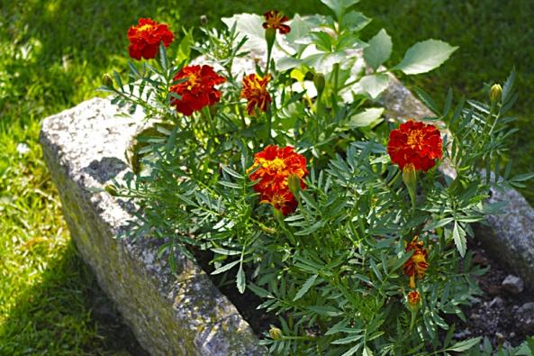 Aksamitník, česky afrikán (Tagetes), ozdobí jakýkoli záhon či nádobu. Je nenáročný na péči a bohatě kvete až do prvních mrazů.