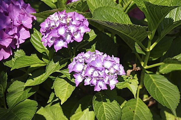 Hortenzie jsou vděčnou a krásnou květinou našich zahrad. Vykvétají počátkem jara a kvetou až do podzimu. Hortenzie velkokvětá (Hydrangea macrophylla) kvete růžově, červeně, modře či fialově, barva je ovlivněna hodnotou pH půdy.