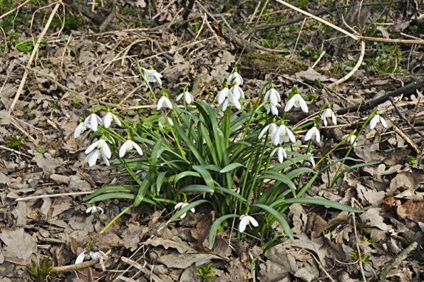 Sněženky, bledule, narcisy, hyacinty – to všechno jsou krásné, ale značně jedovaté rostliny. Proto je nutné dát pozor na přítomnost malých dětí a domácích zvířat.