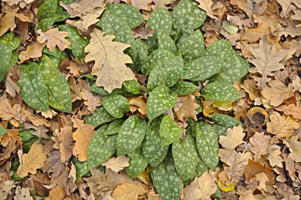 V teplejších oblastech a po mírnější zimě je třeba odstranit kryt z chvojí z choulostivějších rostlin, aby měly dostatek světla.