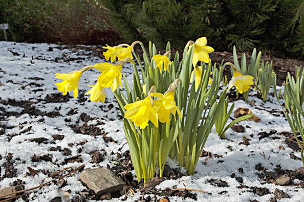 V březnu se zpravidla začínají objevovat první cibuloviny.
