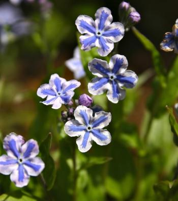 Pupkovec kapadocký je 10–20cm vysoká bylina, která rychle vytvoří souvislý porost.