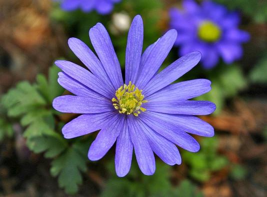 Modrými květy upoutá pozornost ihlíznatá sasanka vábná, natrhu ale najdete ikultivary sbílými nebo růžovými květy.