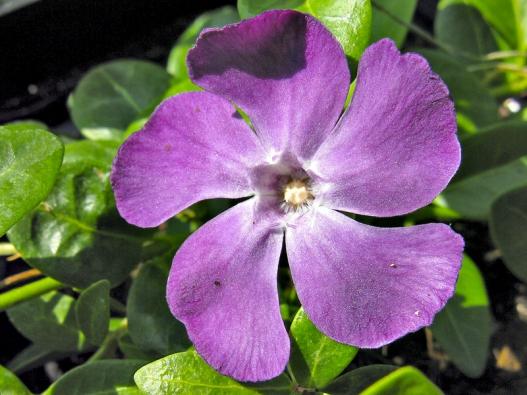 Ozdobou barvínku menšího jsou pocelý rok stálezelené kožovité listy anajaře imodrofialové květy.