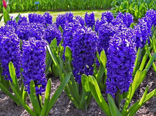 Velká aomamně vonící květenství hyacintů vydrží krásná povelice dlouhou dobu, arostliny se proto uplatní nejen nazahradě, ale ivnádobách.