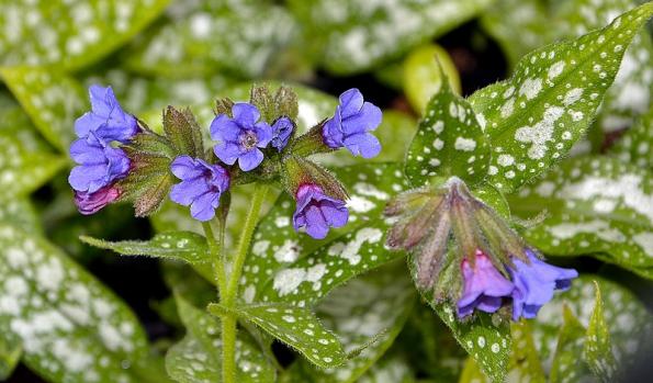Plicník lékařský je známá léčivá rostlina, svými medonosnými květy přitahuje zjara včely.