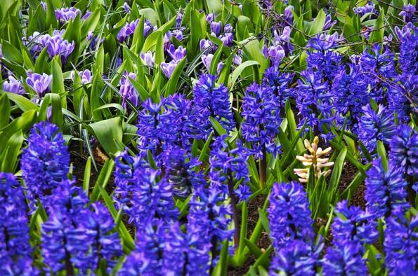 Výsadbu hyacintů nebo jiných jarních cibulovin mohou doplnit drobné krokusy, známé také pod jménem šafrány.