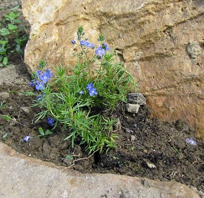 Čerstvě vysázené rostliny dobře zalijeme. Prostor kolem nich můžeme opatrně zamulčovat, omezíme tím potřebu zalévání a pletí.
