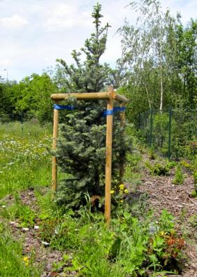 Stromky ukotvíme kůly a ponecháme je, dokud nezakoření. Je třeba kontrolovat úvazy, aby nepoškodily kůru stromu!