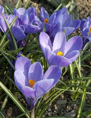 Modrofialová odrůda ´Grand Maitre´ patří kvelkokvětým holandským hybridům šafránu jarního (Crocus vernus). Má oněco větší cibulky než botanické druhy, aproto je nutné jej sázet hlouběji.
