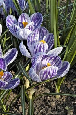 Velkokvětý hybrid šafránu jarního (Crocus  vernus) Pickwick patří mezi nejpopulárnější odrůdy sžíhanými květy.
