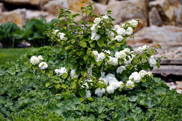 Rozkvetlý exemplář kaliny kulovité (Viburnum x carlcephalum) se vzahradě uplatní jako solitérní keř, nejen svým květenstvím, ale také podzimním zbarvením listů.