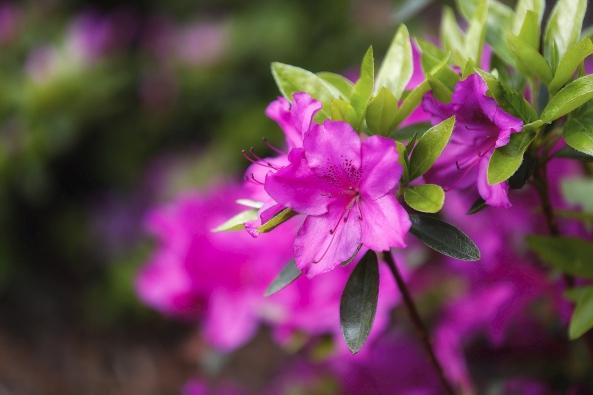 Kvetoucí šácholan Soulangeův (Magnolia x soulangeana).
