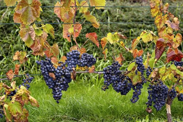 Napřání majitele byl vsamostatné části zahrady založen menší vinohrad. Stanovištní podmínky zahrady jsou velmi vhodné pro pěstování révy vinné. Vsoučasné době je vinohrad již vplodnosti, viz hrozny modré odrůdy Zweigeltrebe.