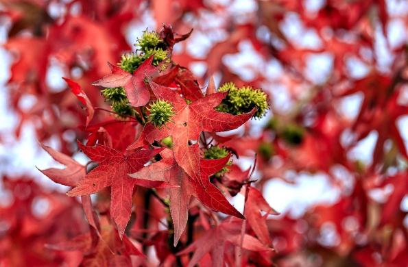 Listy aplody ambroně západní (Liquidambar styraciflua) vpodzimním působivém vybarvení.