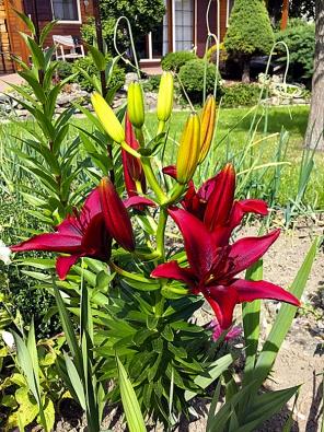 Krásu zahrady dotvářejí na mnoha místech rovněž mnohé odrůdy lilií (Lilium).