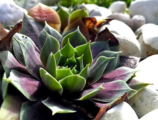 Najdeme zde i některé  z mnoha desítek odrůd netřesku (Sempervivum) různého zbarvení a velikosti.