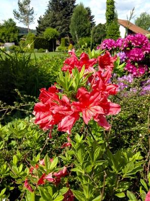 Romantický ráz zahrady navozují také azalky zářivě sytých barev, v tomto případě Rhododendron Knap Hill hybrid.