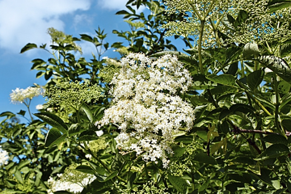 Ani letos nezapomeňte na květy bezu černého (Sambucus nigra).