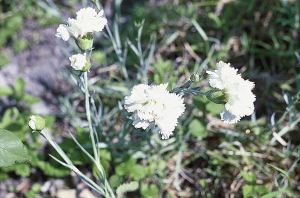 Hvozdík neboli karafiát zahradní (Dianthus caryophyllus)