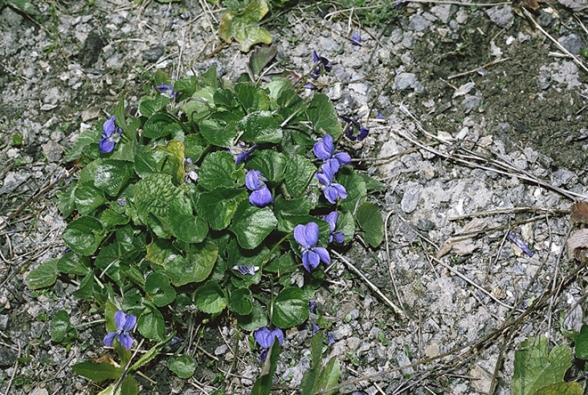 Violka neboli fialka vonná (Viola odorata)