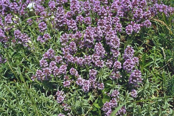 Mateřídouška úzkolistá (Thymus serphyllum)