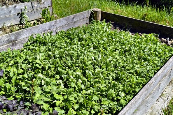 Chceme-li vypěstovat vlastní semínka rokety, musíme některé rostliny nechat vykvést.