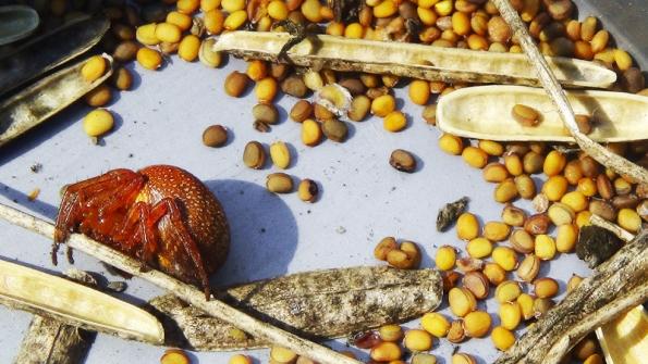 Semena nakonec vydrolíme a pečlivě vyčistíme od zbytků lusků a rostlin.