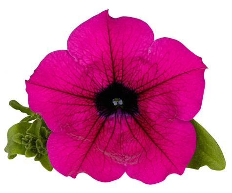 Zřejmě nejznámější odrůda petúnie Surfinia Purple Shihi Brilliant skvětem tmavopurpurové barvy. Rostlina dorůstá převisů ipřes jeden metr.