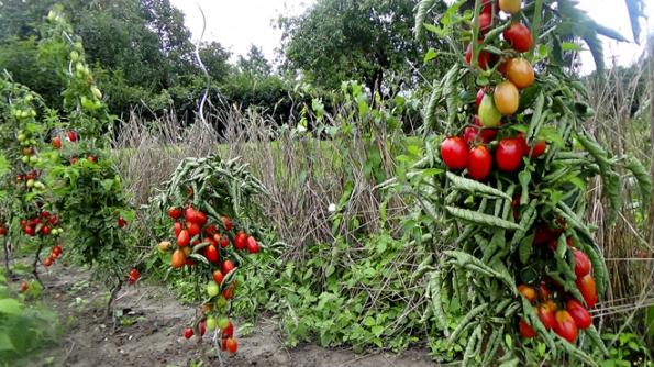 Odrůdy soválnými plody jsou méně náchylné kpraskání.