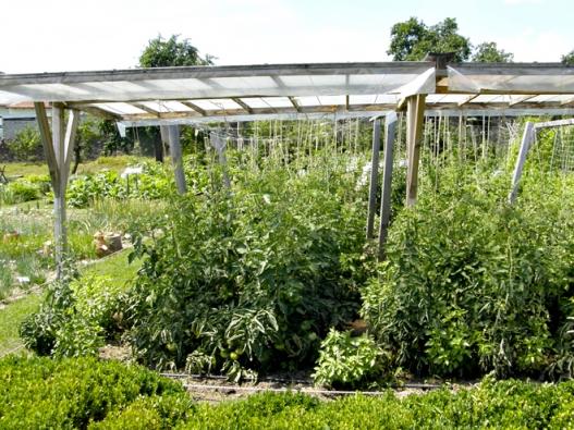 Rajčata chráněná před deštěm lépe odolávají plísni bramborové.