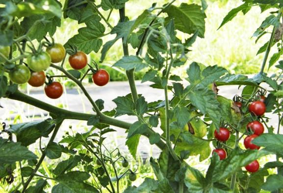Rajče divoké se vyznačuje přirozenou odolností vůči plísni bramborové, kterou většina soudobých odrůd postrádá. Má drobné ajedny znejchutnějších plodů.