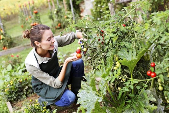 Pěstování rajčat bez chemie bude čím dál složitější.