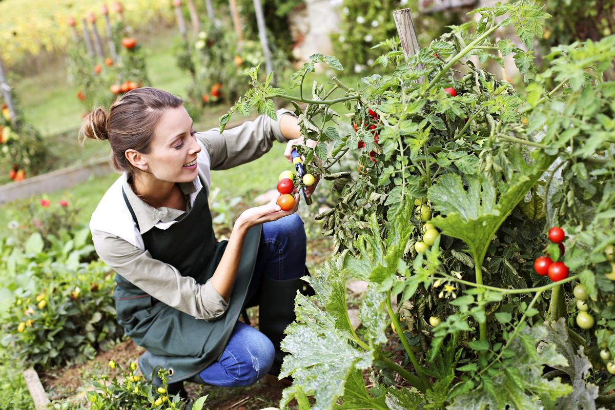 Jak vypěstovat zdravá rajčata