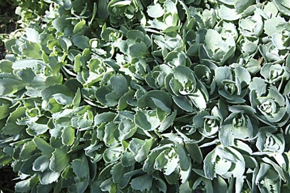 Rozchodníkovec nachový (Sedum telephium, syn. Hylotelephium telephium) sdalšími druhy aodrůdami je 40–60cm vysoká tučnolistá trvalka. Kvete podle druhu aodrůdy v srpnu a v září. Rašící výhony ozdobí záhon na jaře, podzimní květy přilákají včely amotýly.