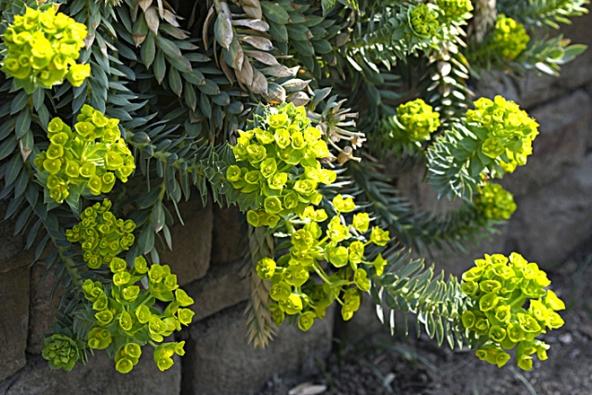 Pryšec myrtovitý (Euphorbia myrsinites, syn. Tithymalus myrsinites) má husté polštáře ovýšce 15–25cm a žlutozelené květy.