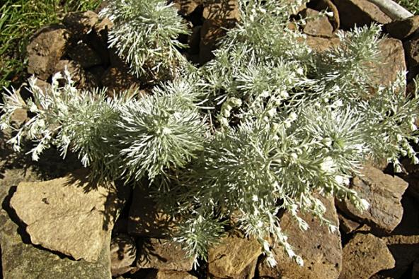 Pelyněk (Artemisia) vnízkých druzích ajejich odrůdách (výška 15–20cm) se hodí pro koryta a okraje záhonů (např. Artemisia schmodtiana). Vysoké druhy dorůstají do výšky 50–80cm, hodí se do sušších písčitých záhonů (Artemisia  arborescens). Doba květu podle druhu aodrůdy červenec až září.