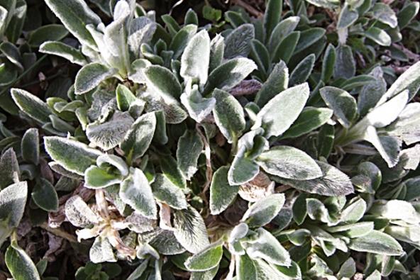 Čistec vlnatý (Stachys byzantina) má polštáře stříbřitě plstnatých listů a pyskaté květy na vysokém stonku. Kvete o letních prázdninách, snadno se množí oddělky.