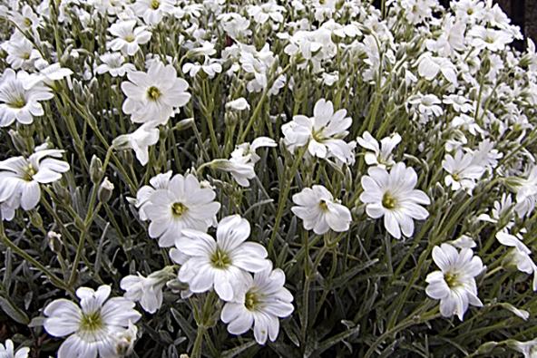 Rožec plstnatý (Cerastium tomentosum) je nízká, stříbřitě šedivá polštářovitá nenáročná trvalka, kvete od května do června.
