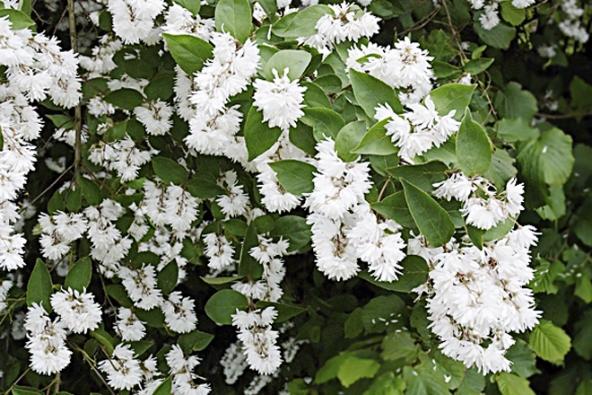 Pro zahradu jsou velmi cenné keře kvetoucí od června do konce léta. Trojpuk drsný (Deutzia scabra) a jeho odrůdy kvetou na přelomu června a července.