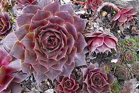 Netřesk (Sempervivum) má řadu druhů a odrůd různého vzhledu. Květ vyrůstá na listnatém stonku uprostřed růžice v červenci  a v srpnu. Po odkvětu růžice zahyne. Snadno se množí oddělením růžic.
