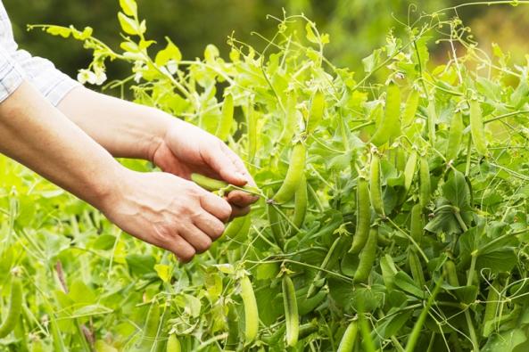 Čerstvé zelené lusky jsou pochoutkou. Stálý přísun zajistí postupný výsev a výběr odrůd podle doby sklizně – velmi rané, rané, polorané, polopozdní, pozdní.