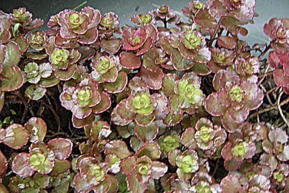 Rozchodník (Sedum) vdruzích aodrůdách lišících se výškou, olistěním abarvou květu. Nízké druhy, výška 5–10cm, například žlutokvětý rozchodník ostrý, kvetou dříve.  Vyšší polštářovité druhy, např. červenolistý rozchodník pochybný, kvetou až do září.