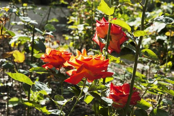 Letní řez růží má především povzbudit tvorbu nových květů.